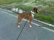 Beautiful flashy Adult Male Boxer Available