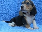HEALTHY BEAGAL PUPPIES FOR FREE ADOPTION