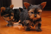 Male and Female Teacup Yorkie For you ...text (505) 966-8777