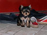 !! Beautiful Tea Cup Yorkie Puppies For Free Adoption..